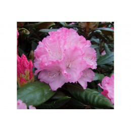 Alppiruusu Royal Rosy
