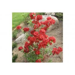 Puistoatsalea, punainen