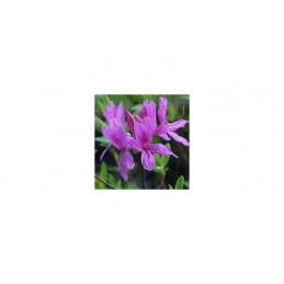 Revontuliatsalea lila