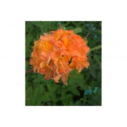 Revontuliatsalea oranssi