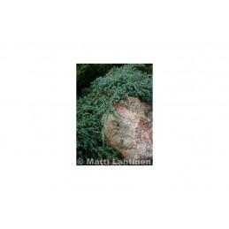 Lamosinikataja 30-40 cm