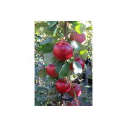 Pilariomenapuu Punainen...