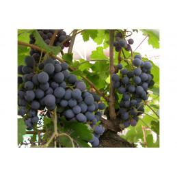 Viiniköynnös Zilga