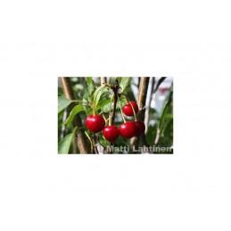 Sikkolan kirsikka