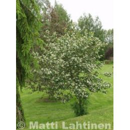 Marja-aroniapuu