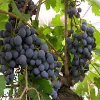 Viiniköynnökset